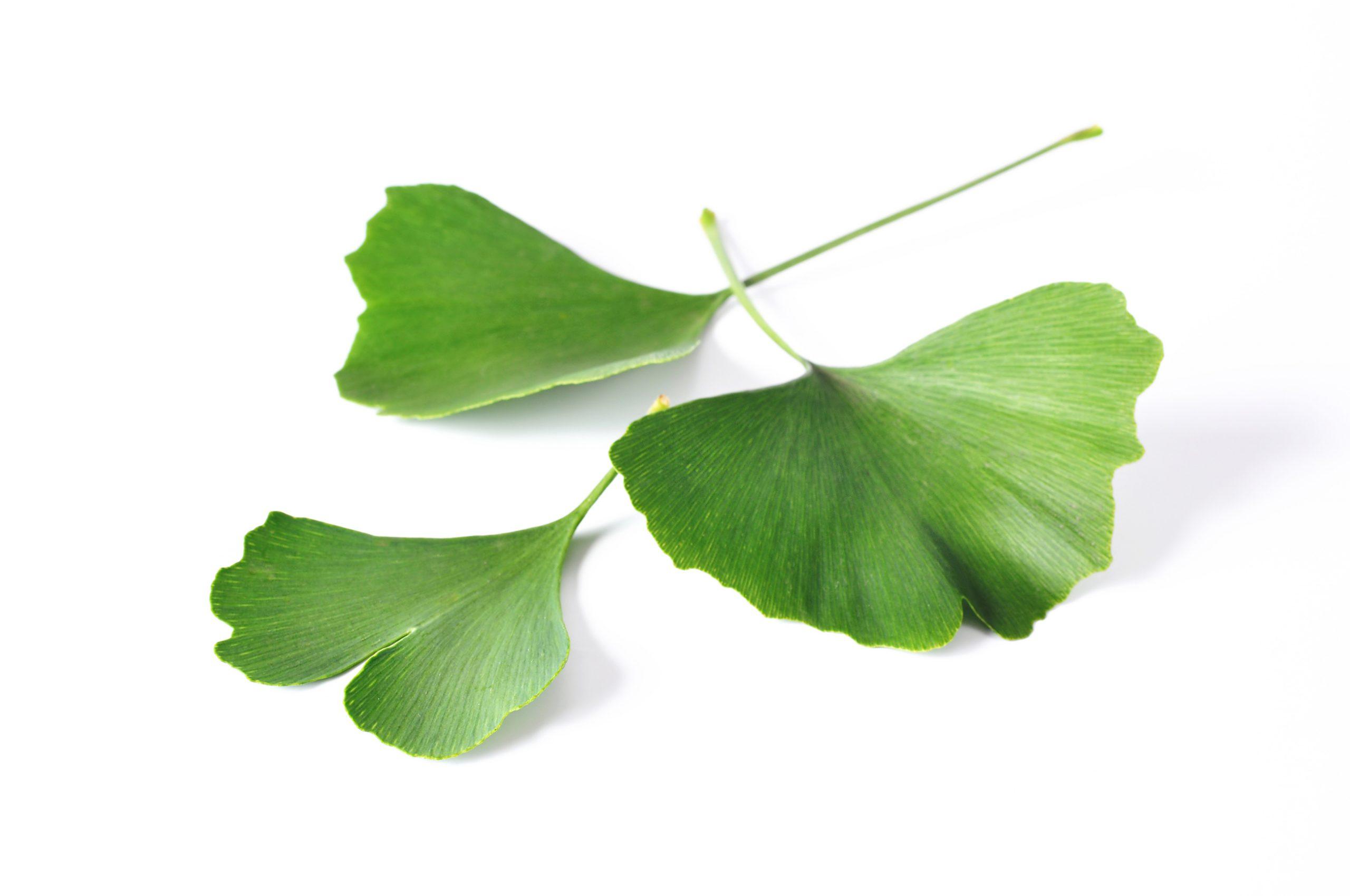 Ginkgo Leaf Extract (สารสกัดจากใบแป๊ะก๊วย)