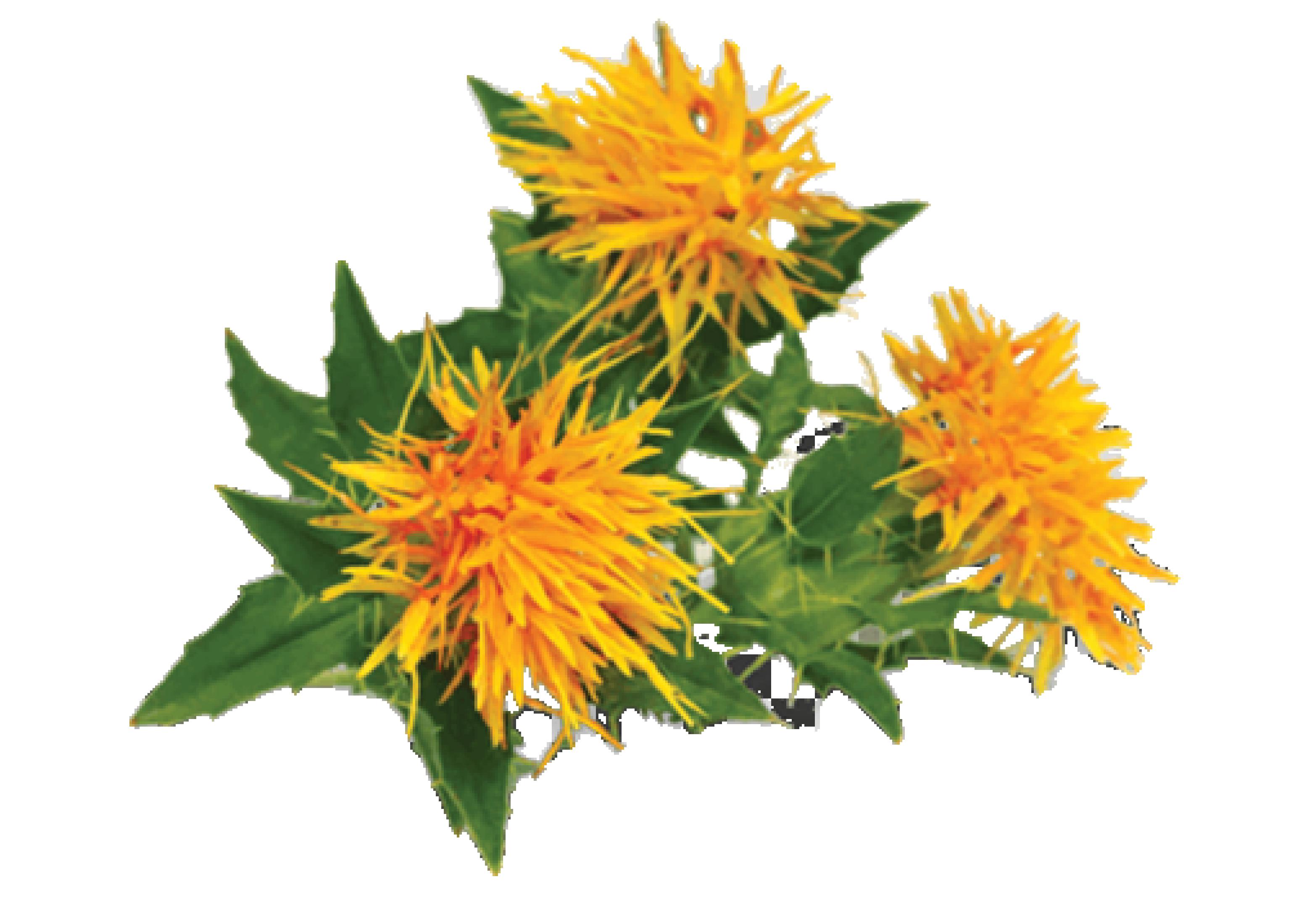 สารสกัดจากดอกคำฝอย (Safflower Extract)